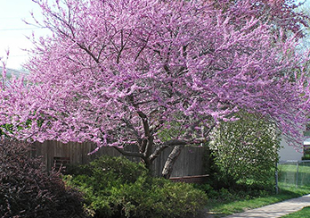 Eastern Redbud tree, featured plant of month